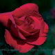 Rose Day Celebrated Worldwide