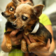 Chihuahuas Join Australia's 'Most Dangerous Dogs' List