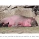 Photographers Found Rare Pink Hippo in Kenya's Jungle